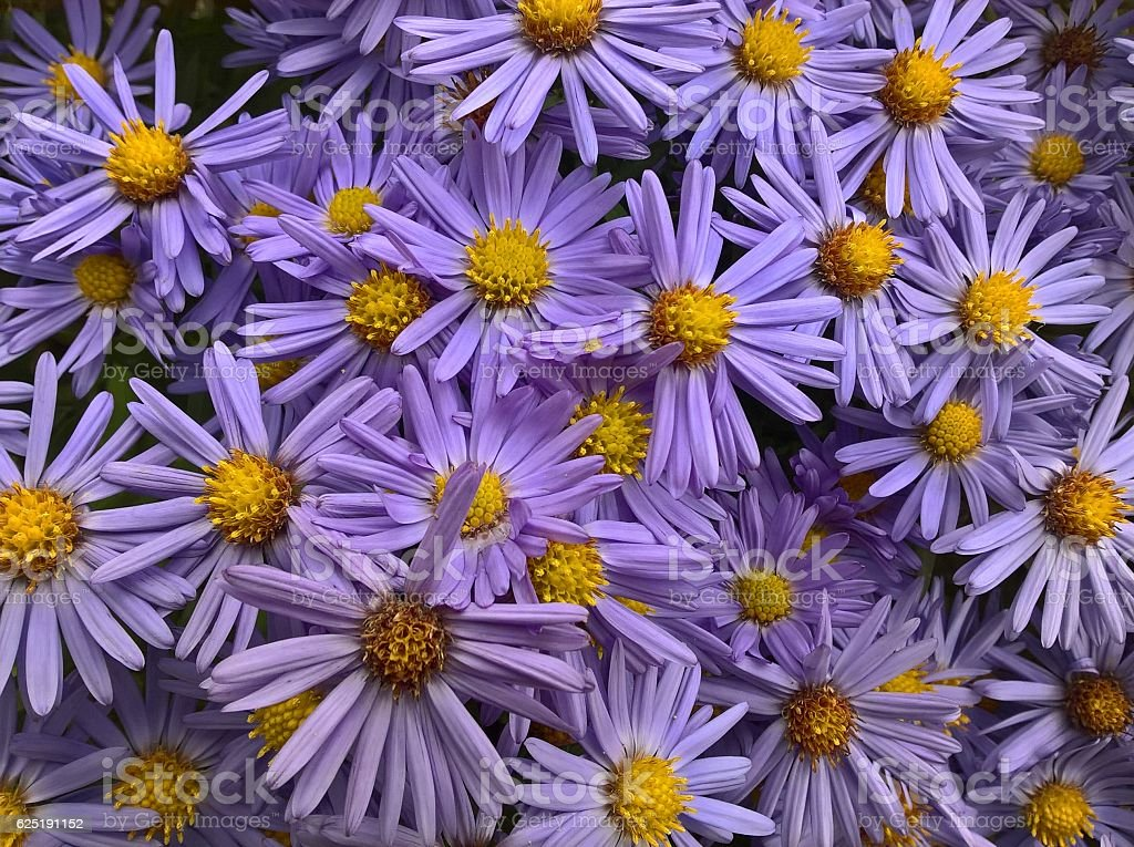 Aster Amellus Flowers stock photo