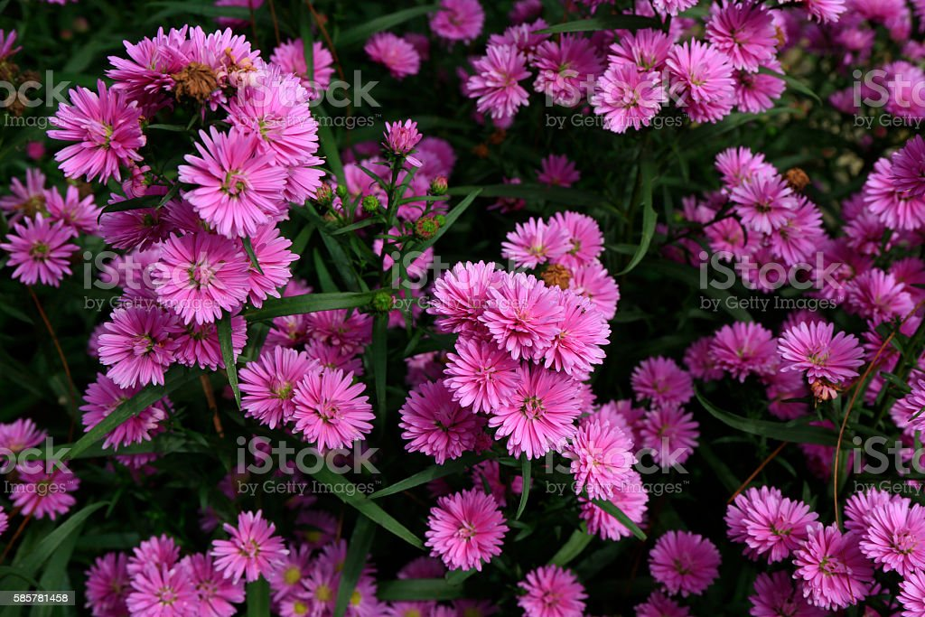 Aster amellus in sunlight stock photo