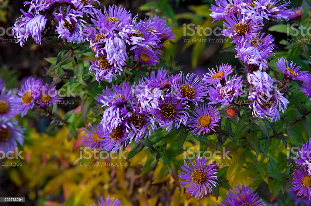 Aster amellus royalty-free stock photo