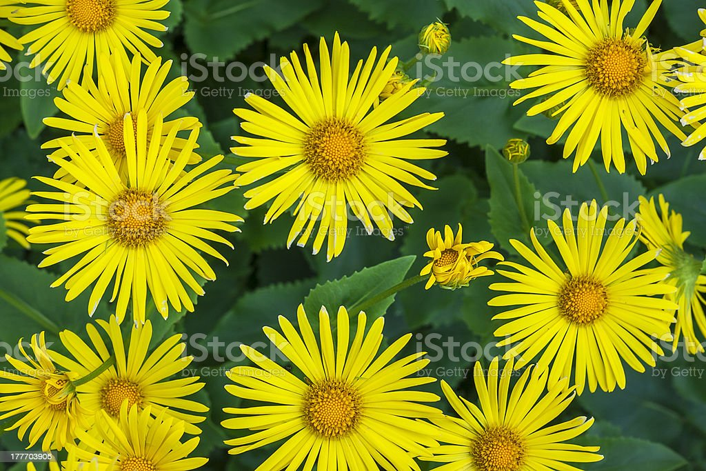 aster asters yallow flower floral spring plants nature royalty-free stock photo