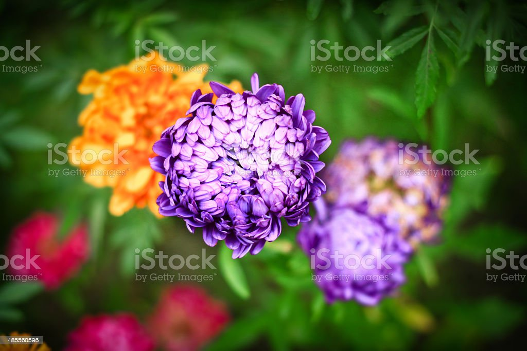 Aster Autumn Flowers Art Design Background stock photo