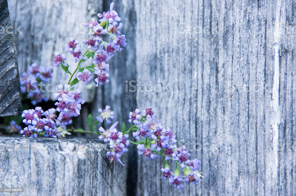 Aster Cordifolius on a Wooden Farm Fence II stock photo