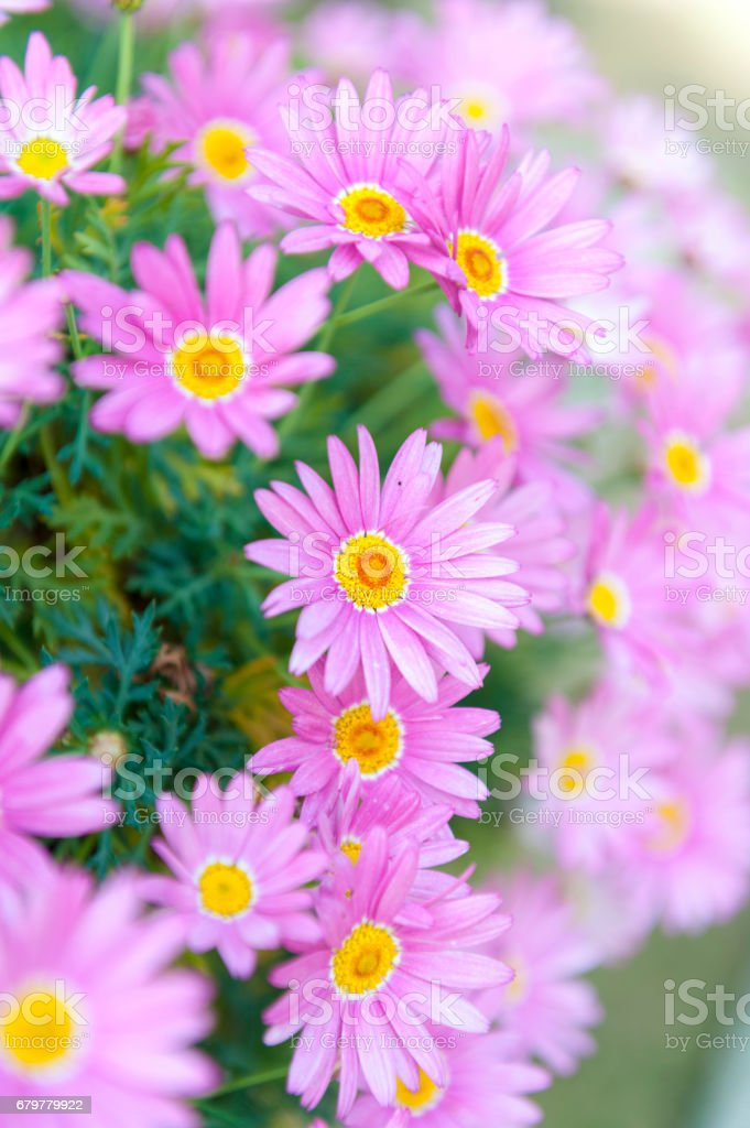 Aster cordifolius - pink flowers during blossom season in botanic garden stock photo