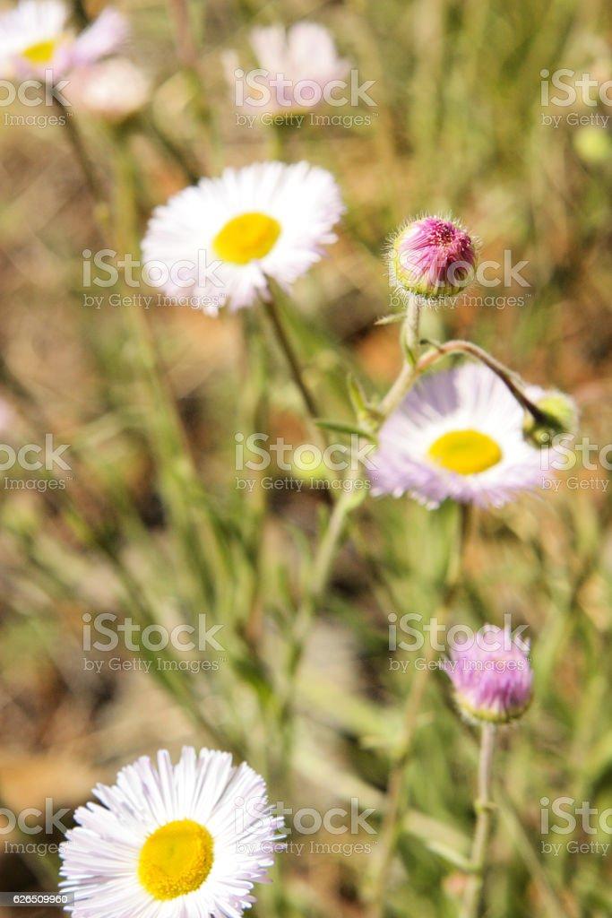Aster Erigeron divergens Flowers Buds stock photo