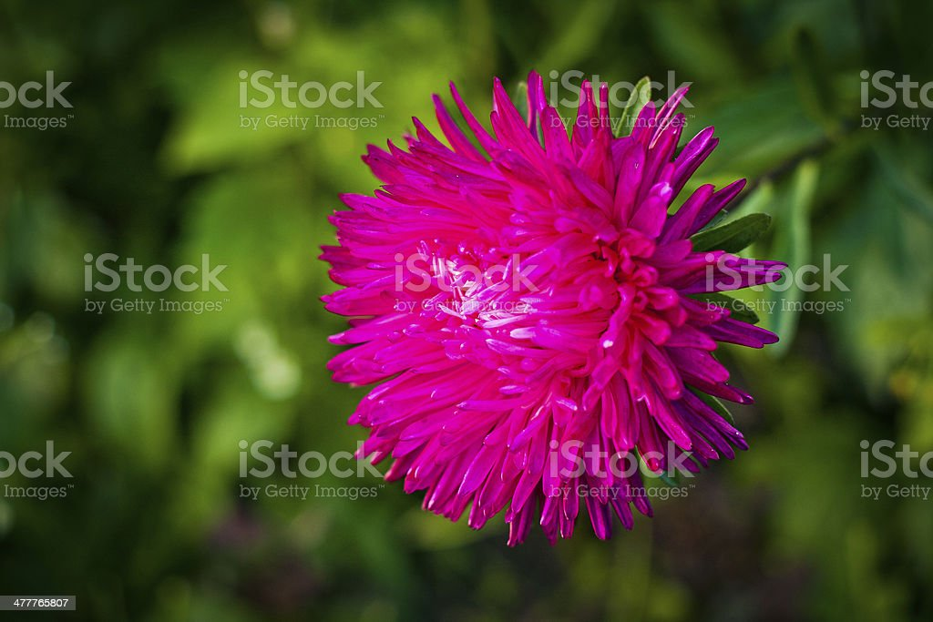 Aster flower on a green leaf background royalty-free stock photo