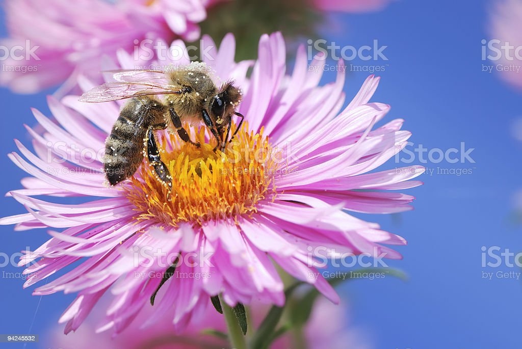 Aster flower with bee royalty-free stock photo