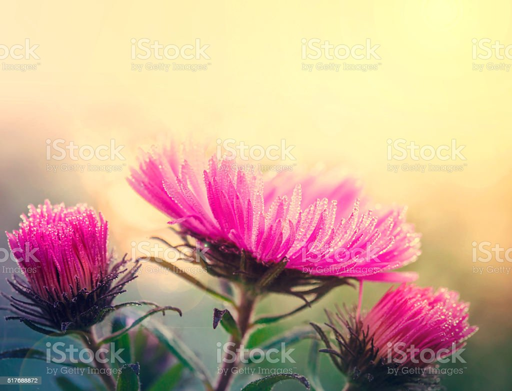 Aster flowers at sunlight stock photo