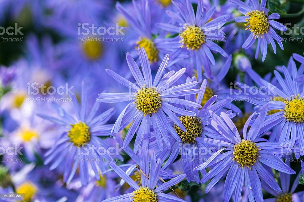 Aster flowers - Michaelmas daisy stock photo