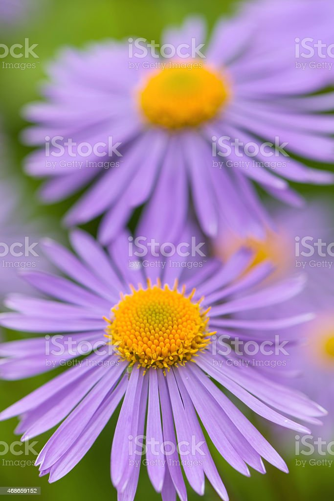 Aster flowers stock photo