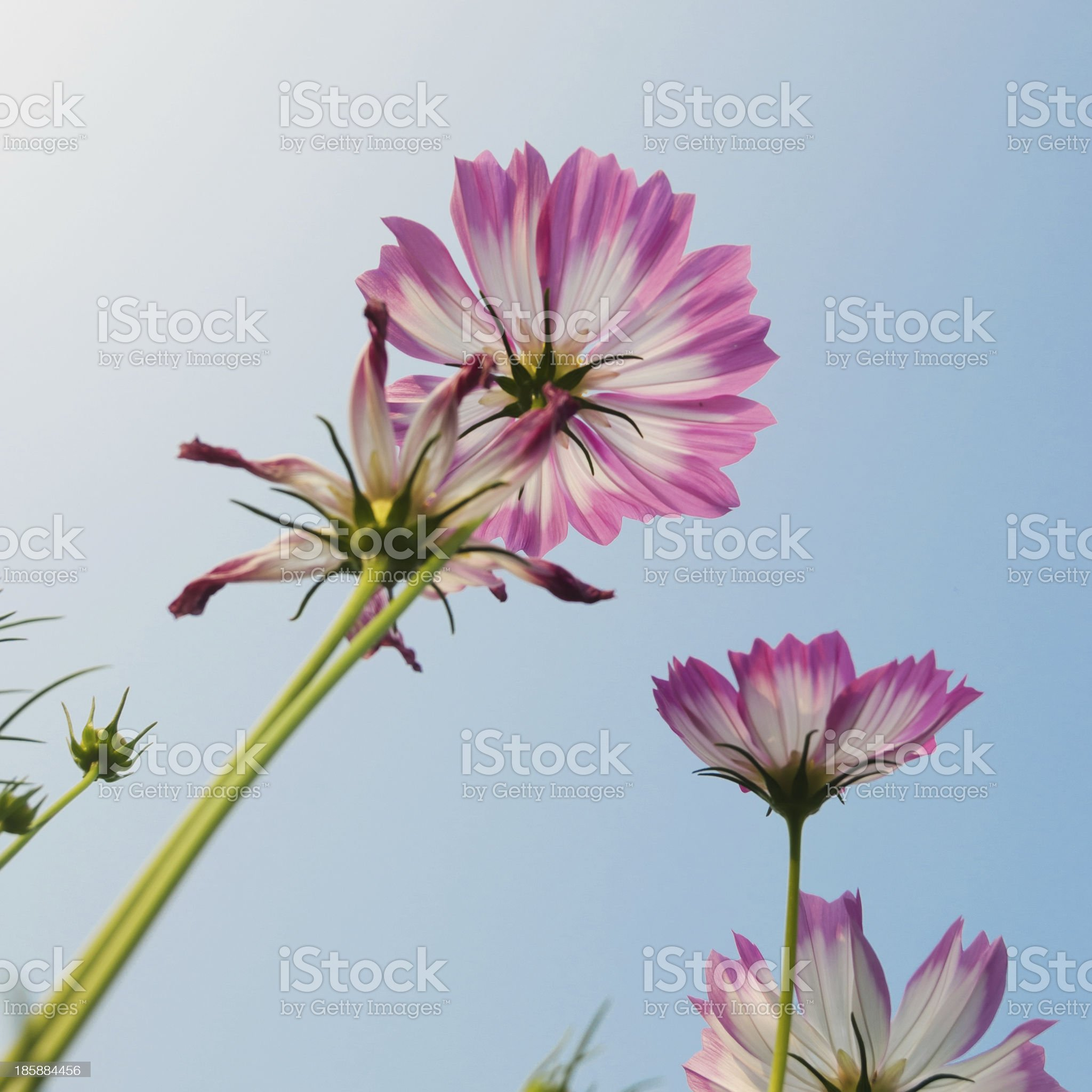 aster royalty-free stock photo