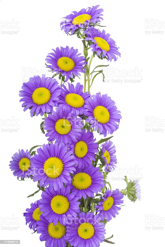 Aster/Daisy Bouquet (XL) royalty-free stock photo