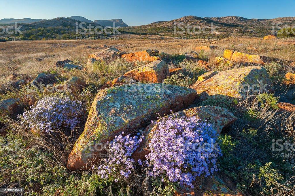 Asters in Autumn, Sunset, Mt. Sheridan, Wichita Mountains, Oklahoma stock photo