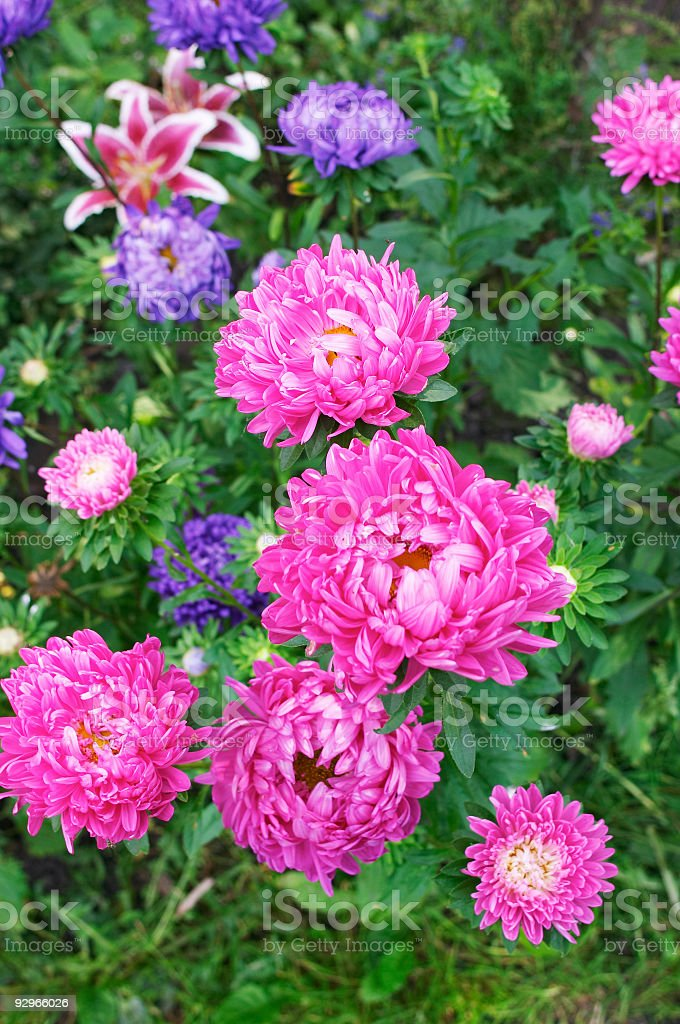 asters royalty-free stock photo