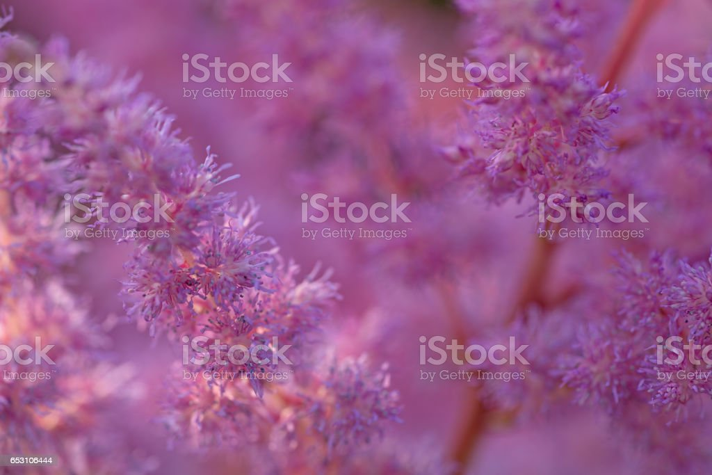 Astilbe chinensis pink stock photo
