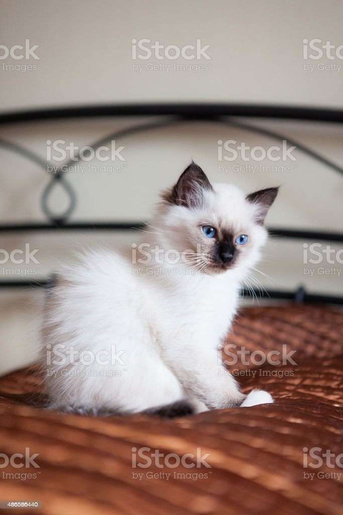 Astonished sacred birman cat sitting on bed stock photo