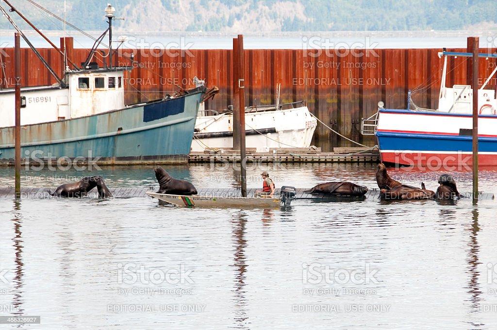 Astoria Sea Lions stock photo