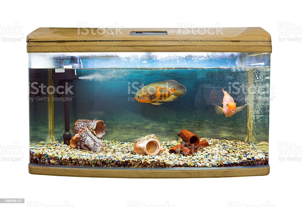 Astoronotusy Fish (Astronotus ocellatus) close-up stock photo