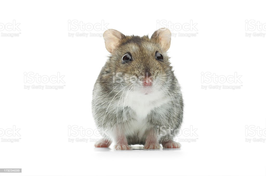 astounded djungarian hamster stock photo