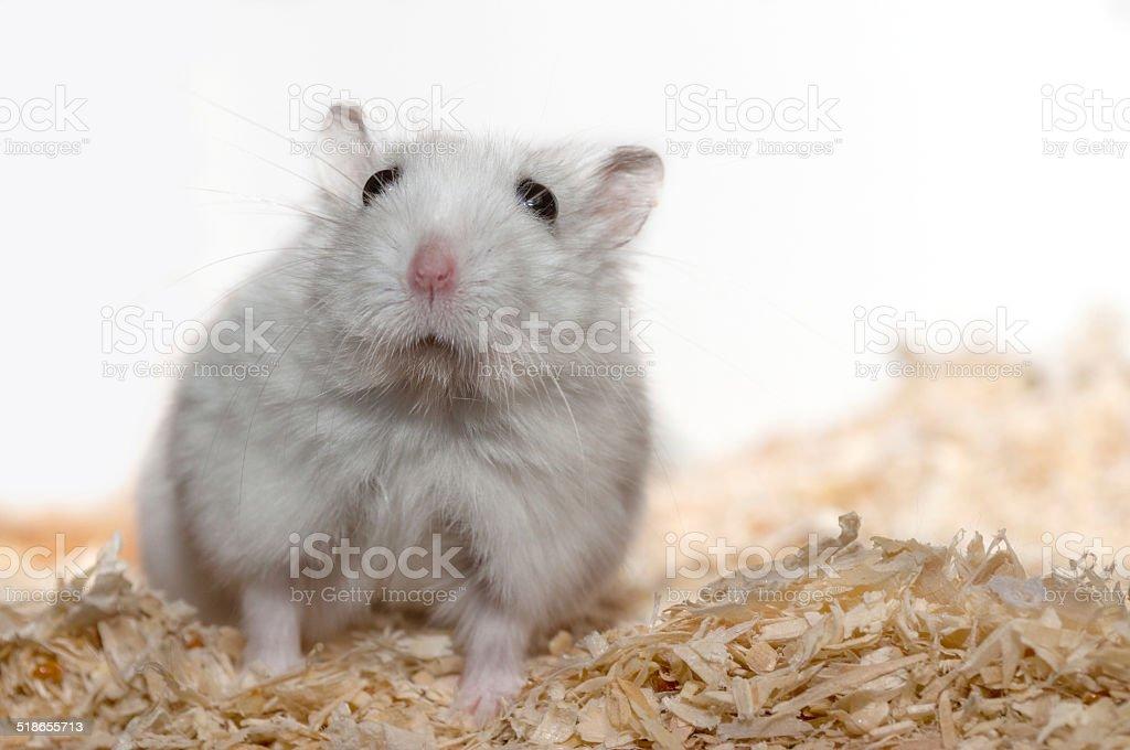 astounded dwarf Hamster stock photo