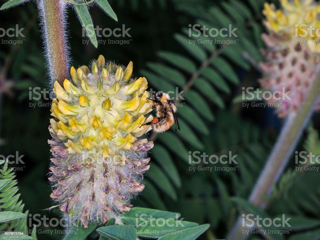 Astragalus alopecurus (or Astragalus centralpinus). Family: Fabaceae, or Leguminosae stock photo