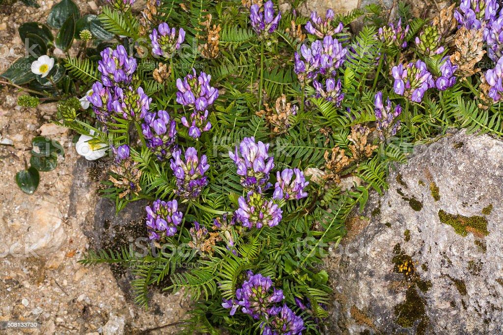 Astragalus danicus (family: Fabaceae). Common name: purple milk-vetch. Western Alps stock photo