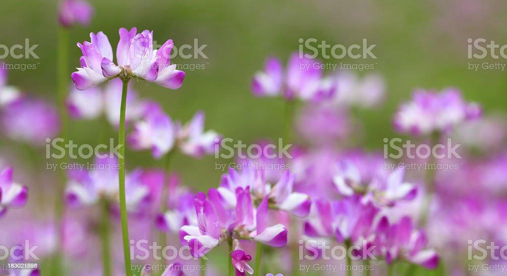 Astragalus sinicus stock photo