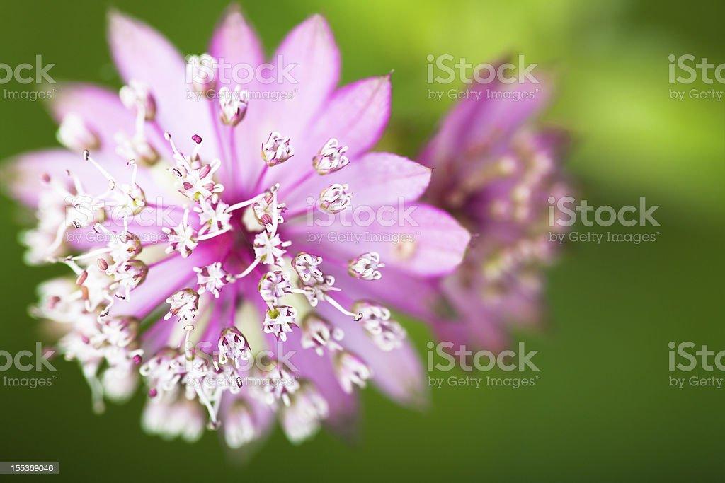 Astrantia major Pink Penny royalty-free stock photo