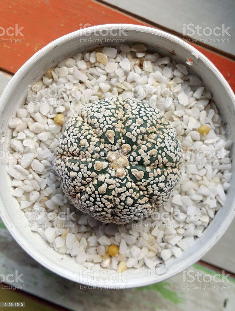 Astrophytum Asterias cactus stock photo