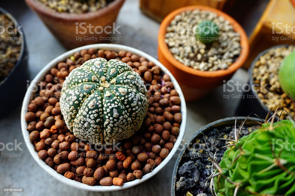 astrophytum cactus in pot stock photo