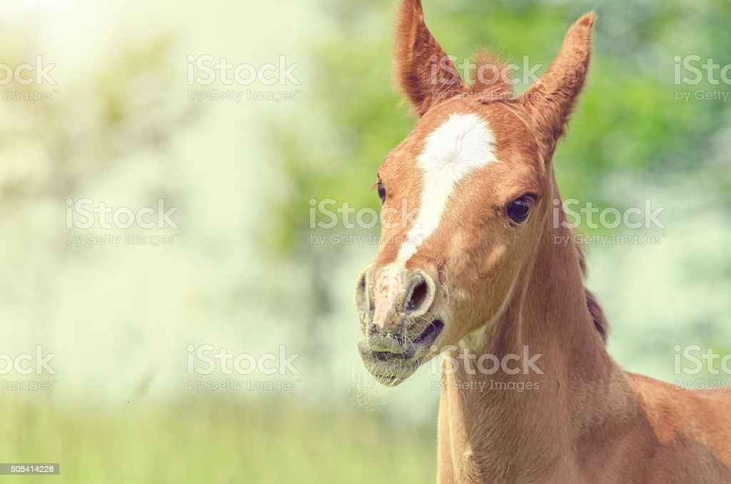at a summer day - arabian horse foal in sunlight stock photo