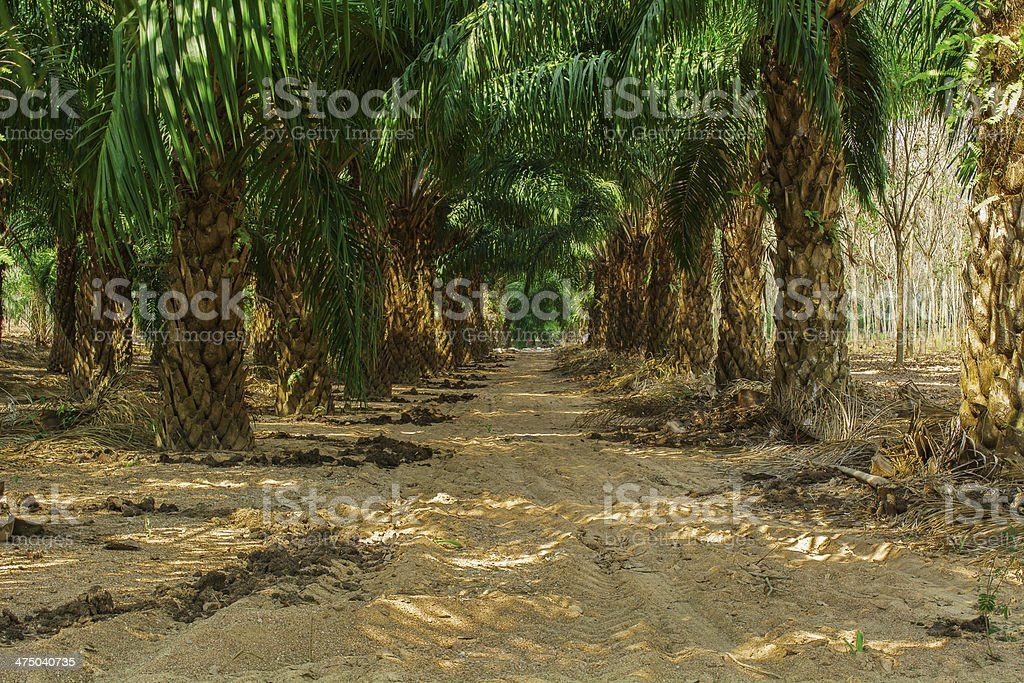 At an oil palm estate stock photo