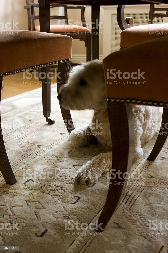 At home among the dining room chairs stock photo