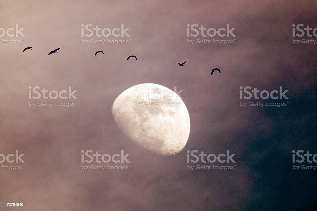 At Sunset, geese flying with moon in background. stock photo