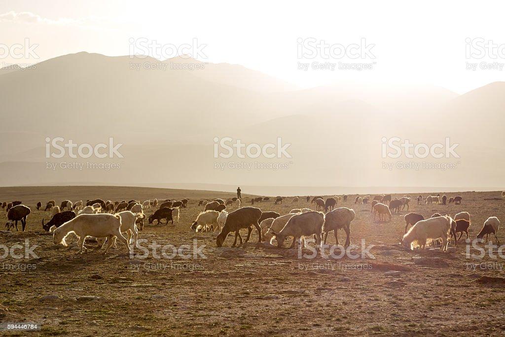 At sunset, on the prairie backlighting flock. stock photo
