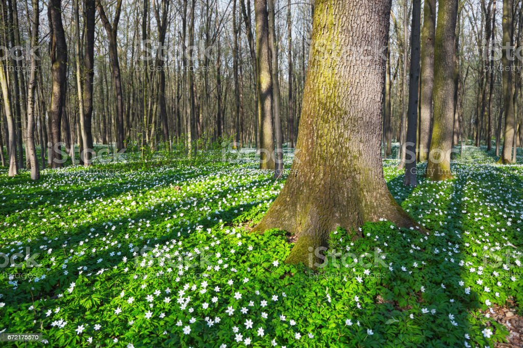 At the enchanted meadow, covered with white primroses, sun rays gleam on green grass at beautiful spring day. stock photo