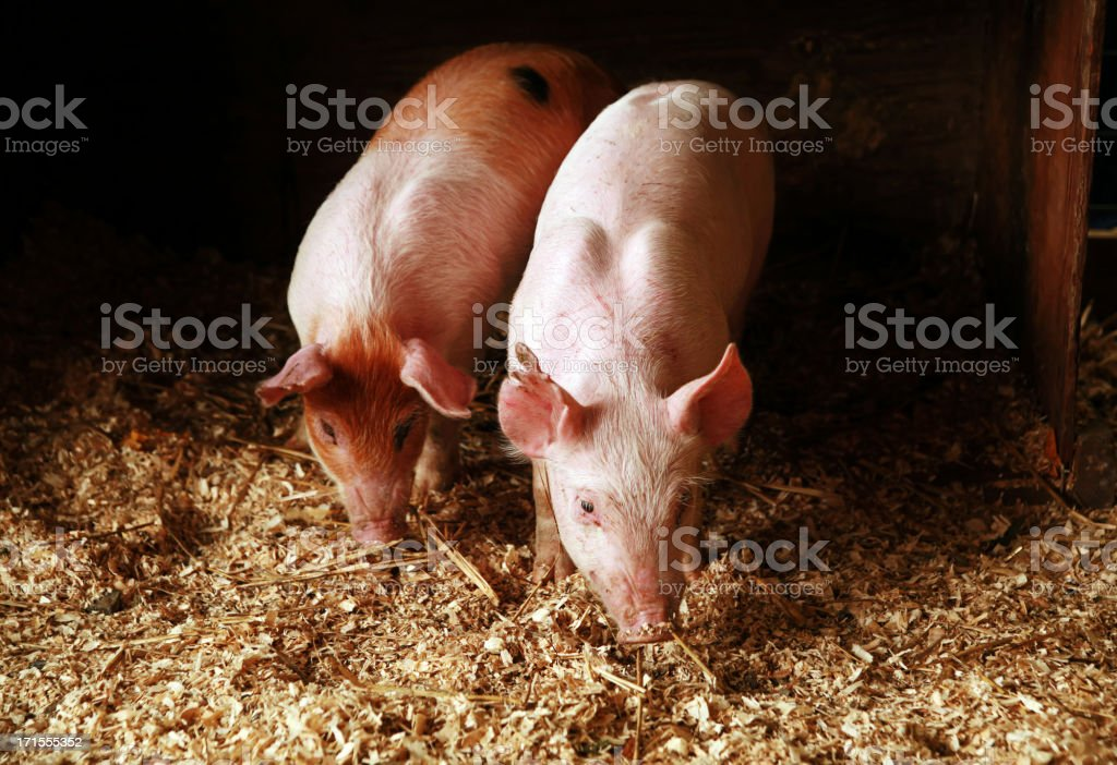 At the Fair: Two Pigs royalty-free stock photo