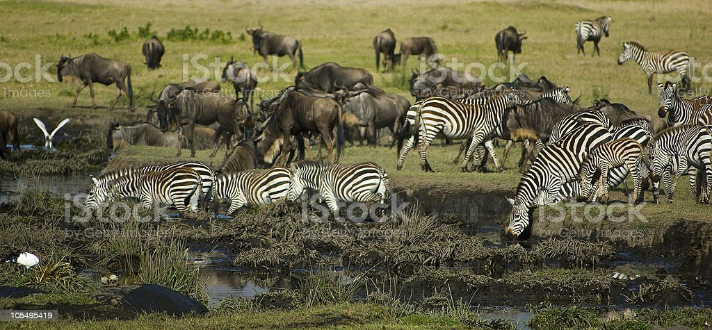 At the water hole royalty-free stock photo