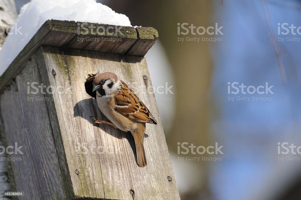 At winter finishing Tree Sparrow investigates possible nest facilities stock photo