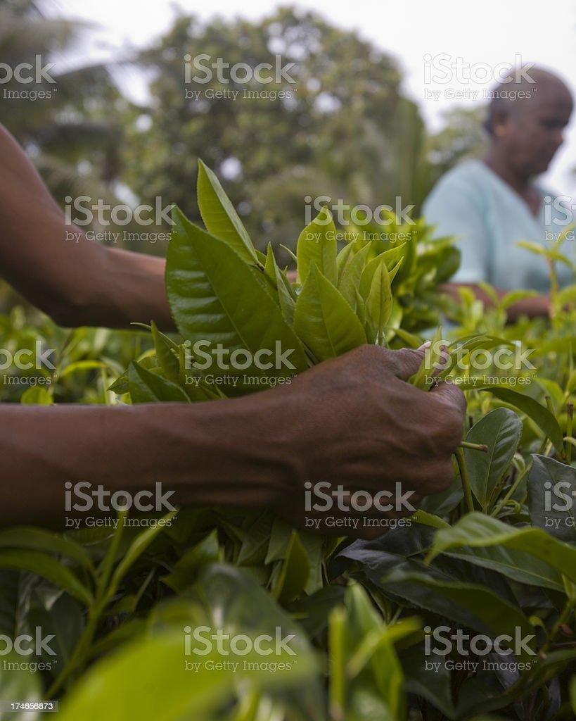 at work plucking tea in Sri Lanka stock photo
