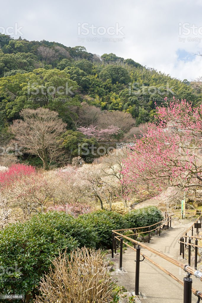 Atami Baien / Atami plum garden stock photo