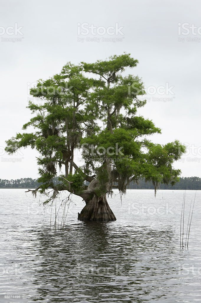 Atchafalaya Cypress stock photo