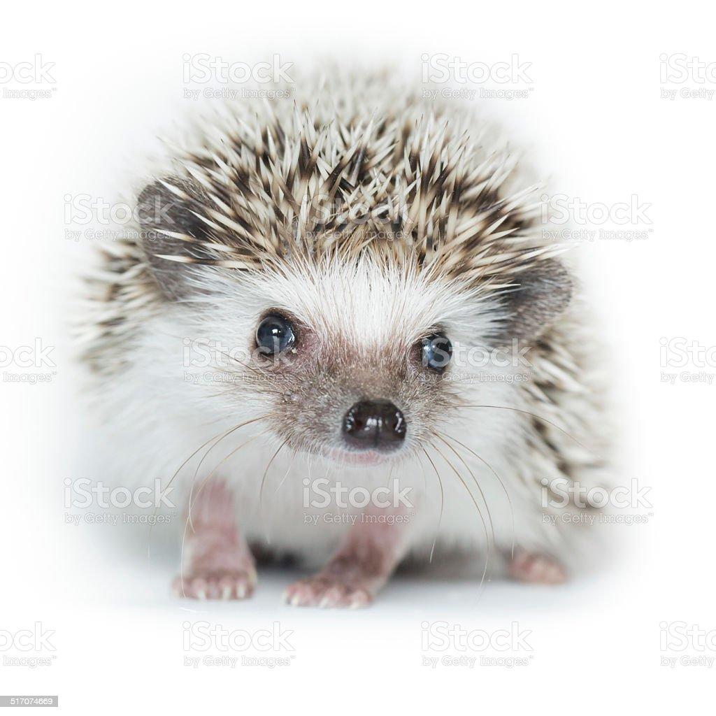 Atelerix albiventris, African pygmy hedgehog. stock photo