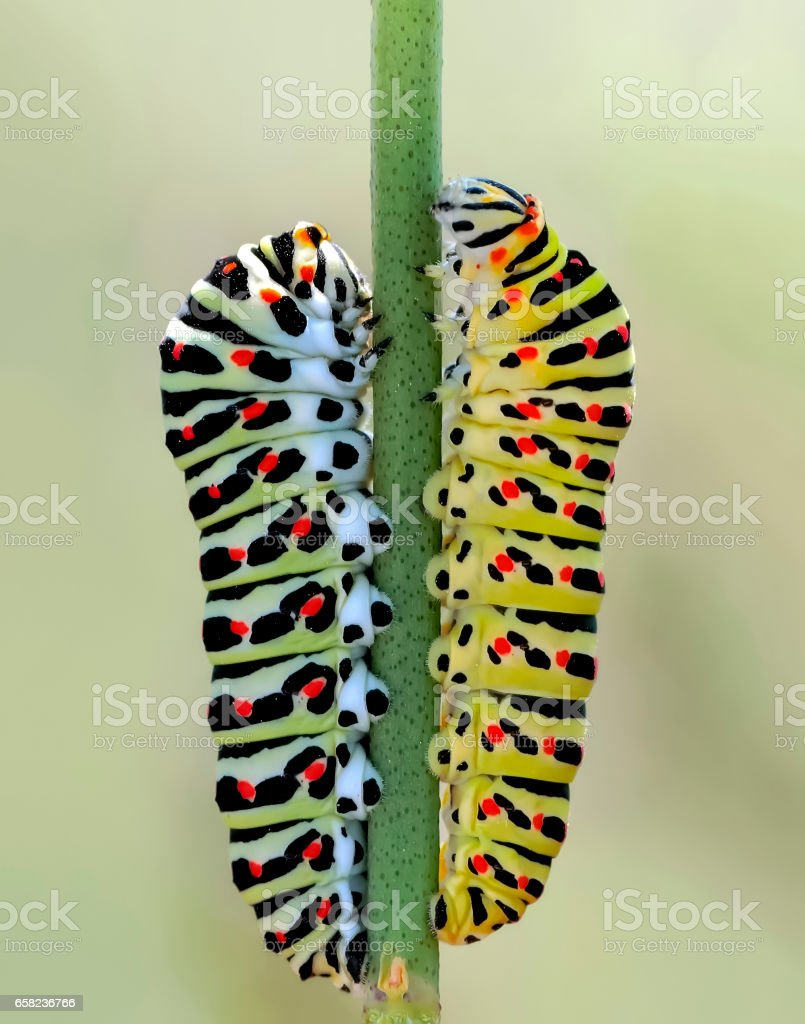 Сaterpillar of swallowtail stock photo