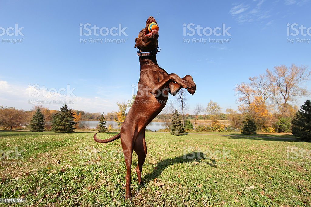 Athletic Dog Jumping And Catching Ball stock photo