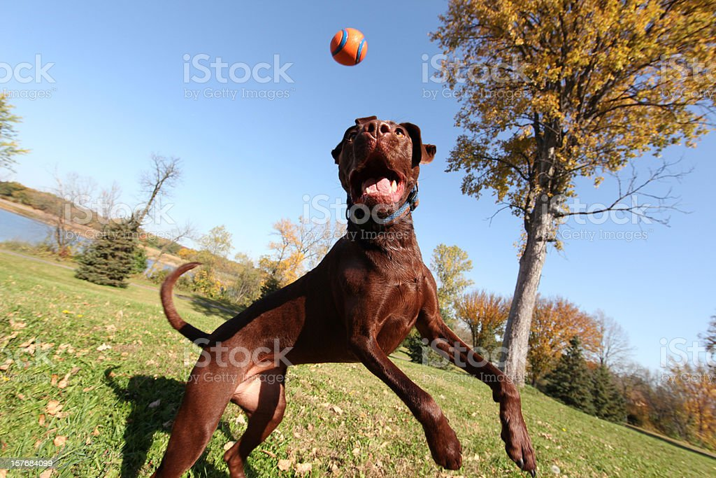 Athletic Dog Jumping And Catching Ball royalty-free stock photo