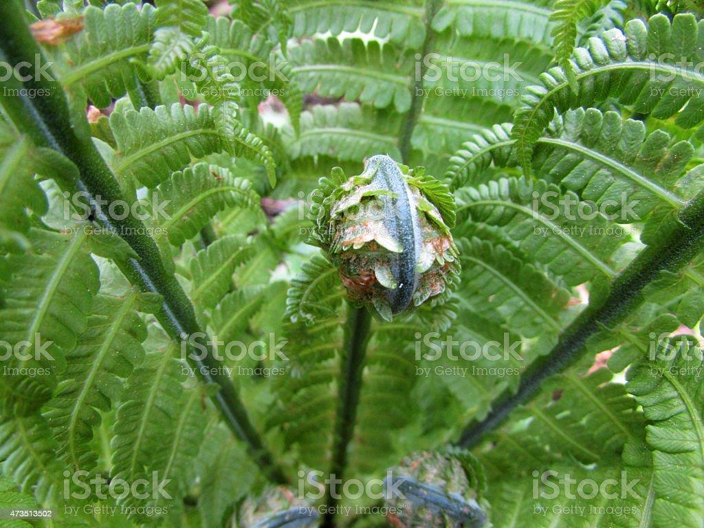 Athyrium filix-femina or lady fern stock photo