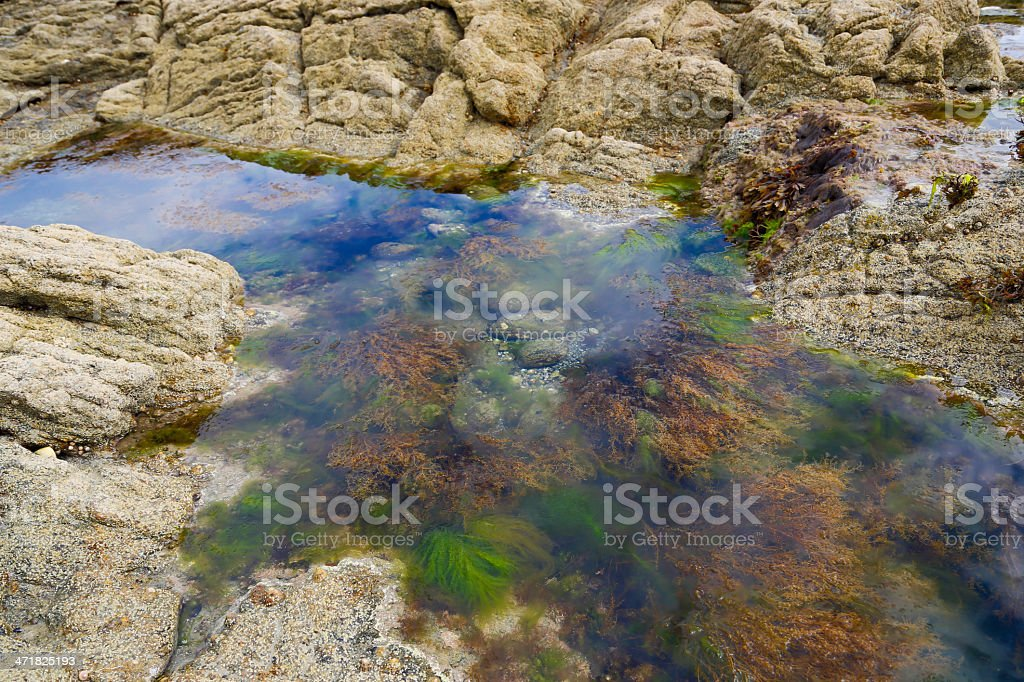 Atlantic algae royalty-free stock photo