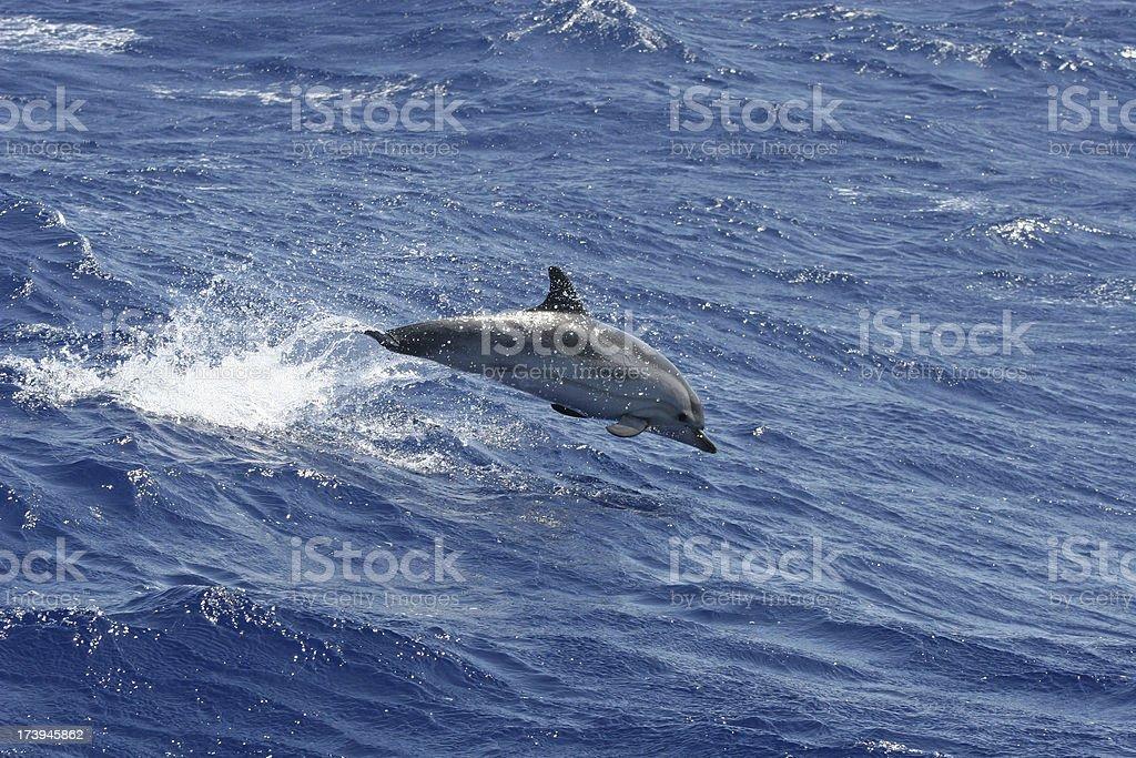 Atlantic Dolphin royalty-free stock photo