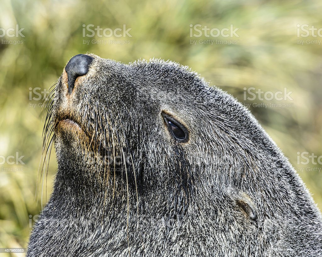 Atlantic fur seal with a curious look down. royalty-free stock photo