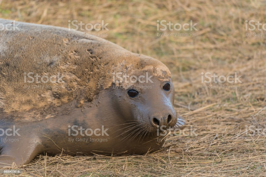 Atlantic Grey Seal (Halichoerus grypus) stock photo